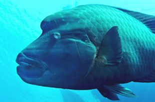 Рыба Наполеон