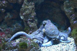 Осьминог (Octopus)