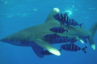 Длиннокрылая акула - Лонгиманус
