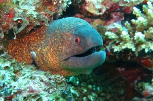 Мурена (Moray Eel)